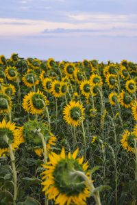 Gorgeous sunset over the sunflower field