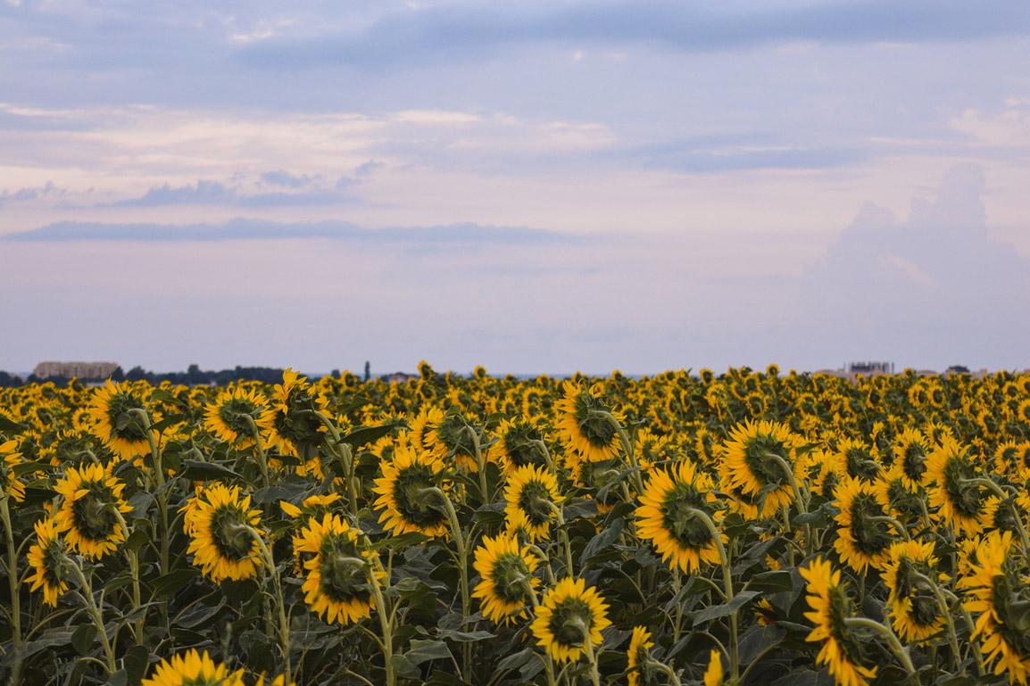 Pôr do Sol sobre os campos de girassóis na Bulgaria