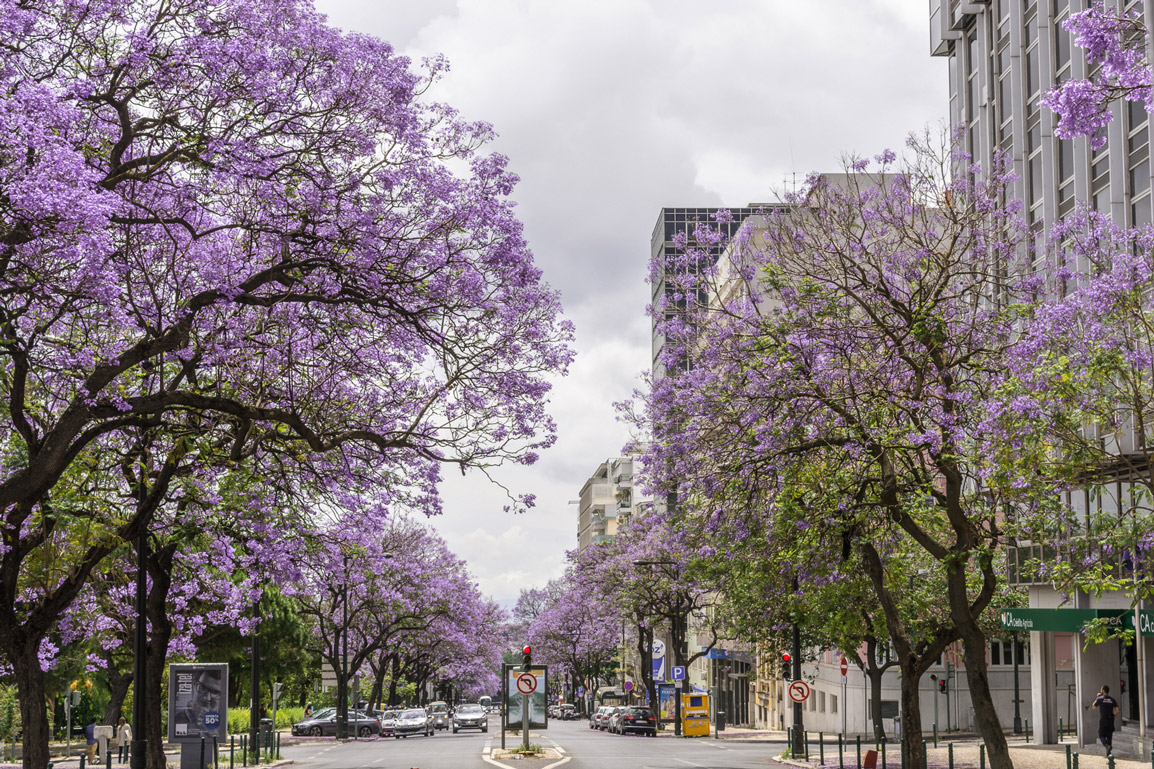 Na Primavera as árvores Jacaranda cobrem a cidade de Lisboa de roxo
